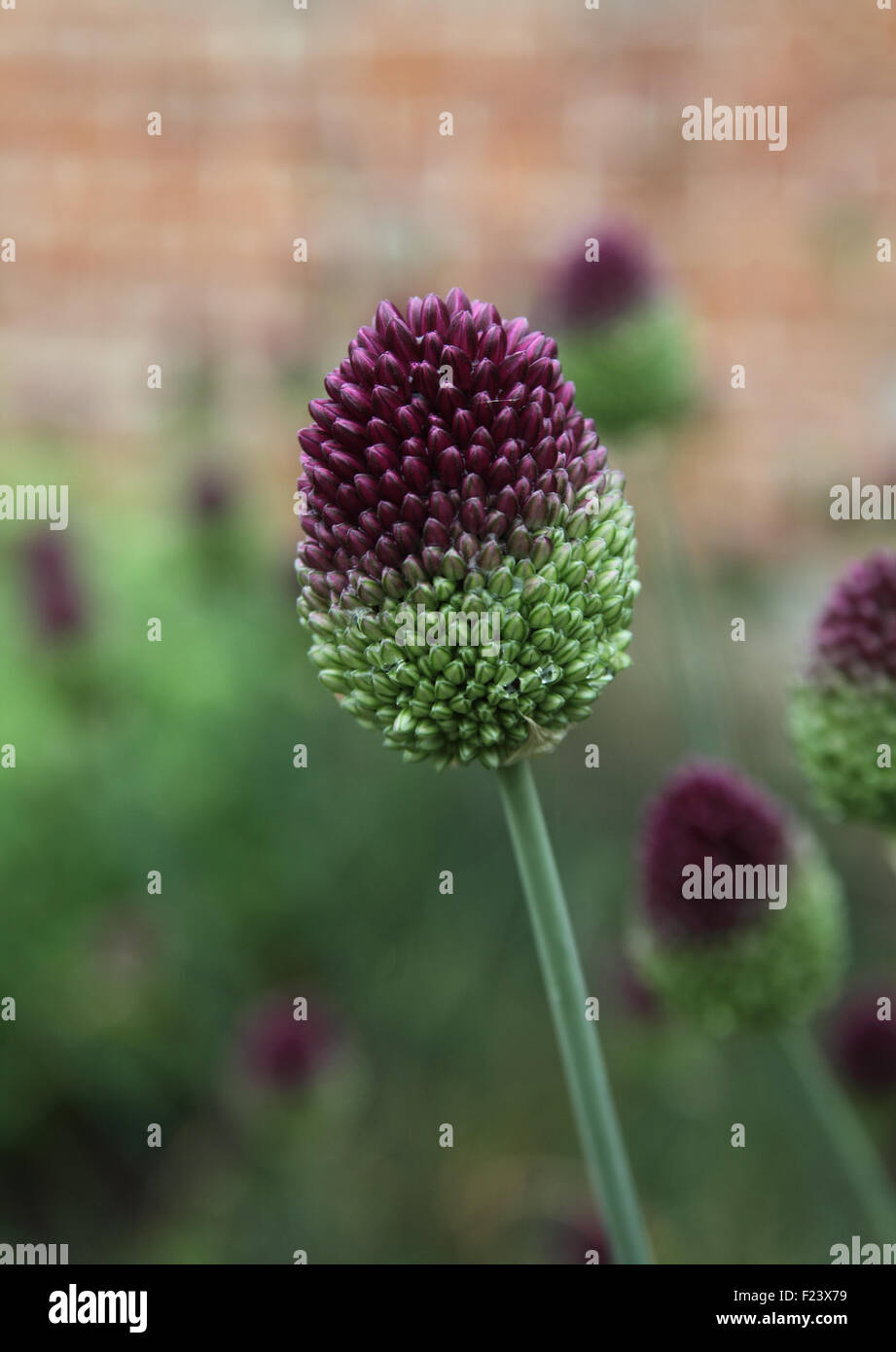 Allium spearocephalum close up of flowerhead - Stock Image