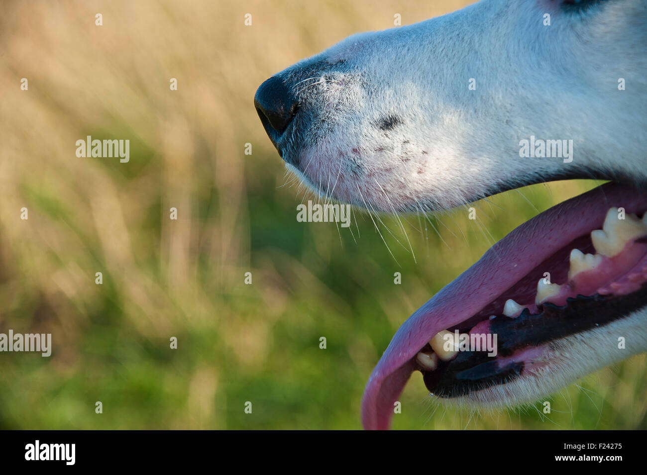 dog's mouth, teeth, nose, tongue, eyes, jaw, canines and nostrils in profile - Stock Image