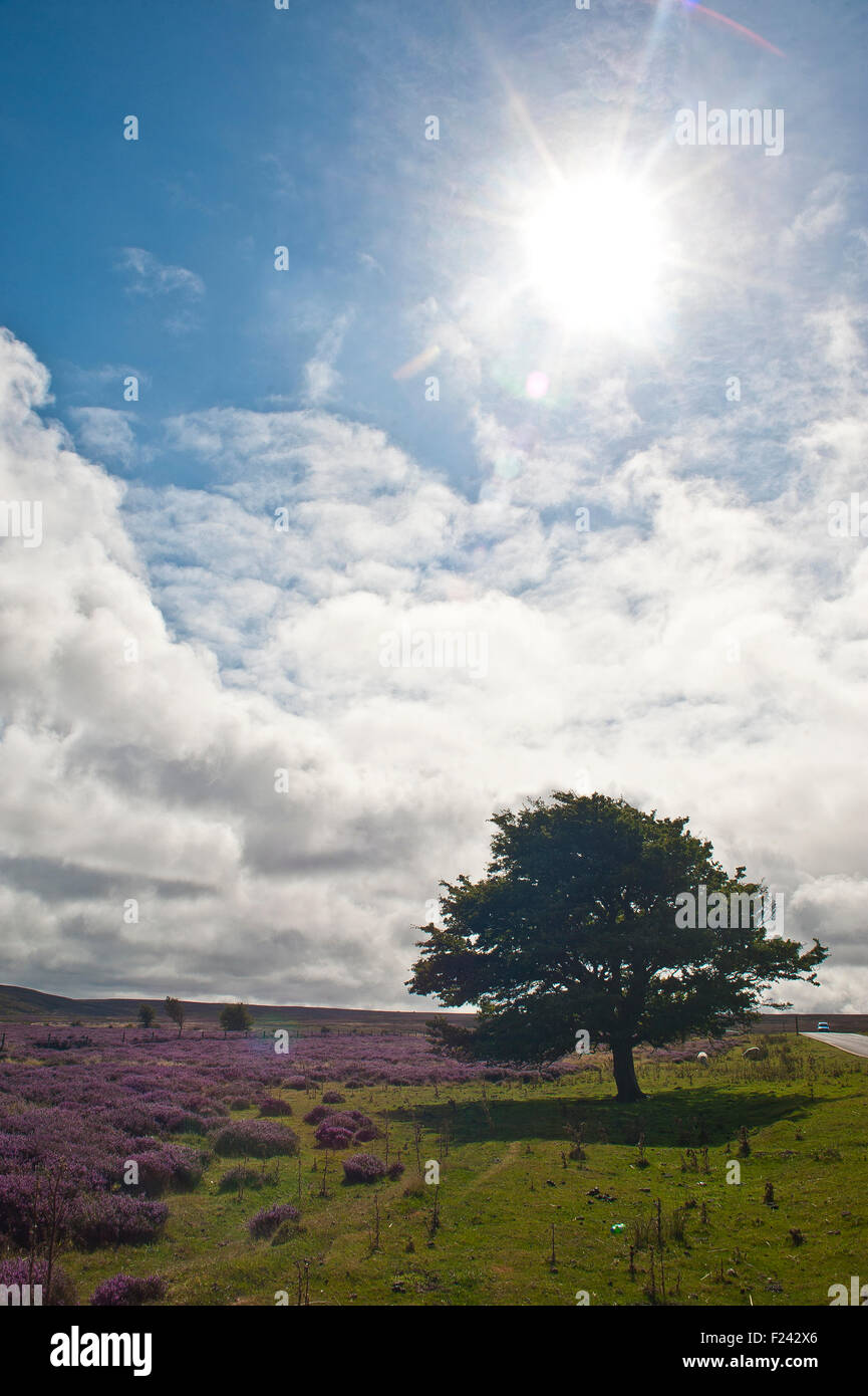 deciduous Hawthorn tree, crataegus monogyna, green leaves on north yorkshire moors heath with purple lyng, with - Stock Image