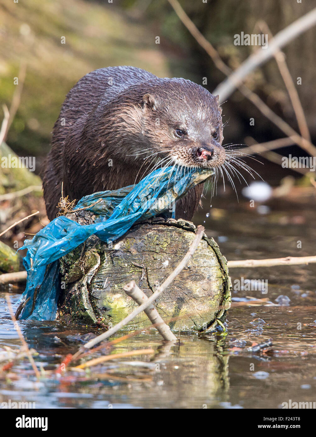 European Otter (Lutra lutra)  with rubbish in a polluted river - Stock Image