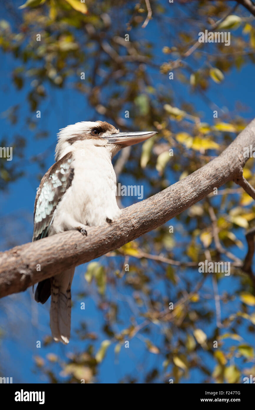 Blue-Winged Kookaburra sitting in a tree at the Undara Volcanic National Park, Outback Queensland, Australia - Stock Image