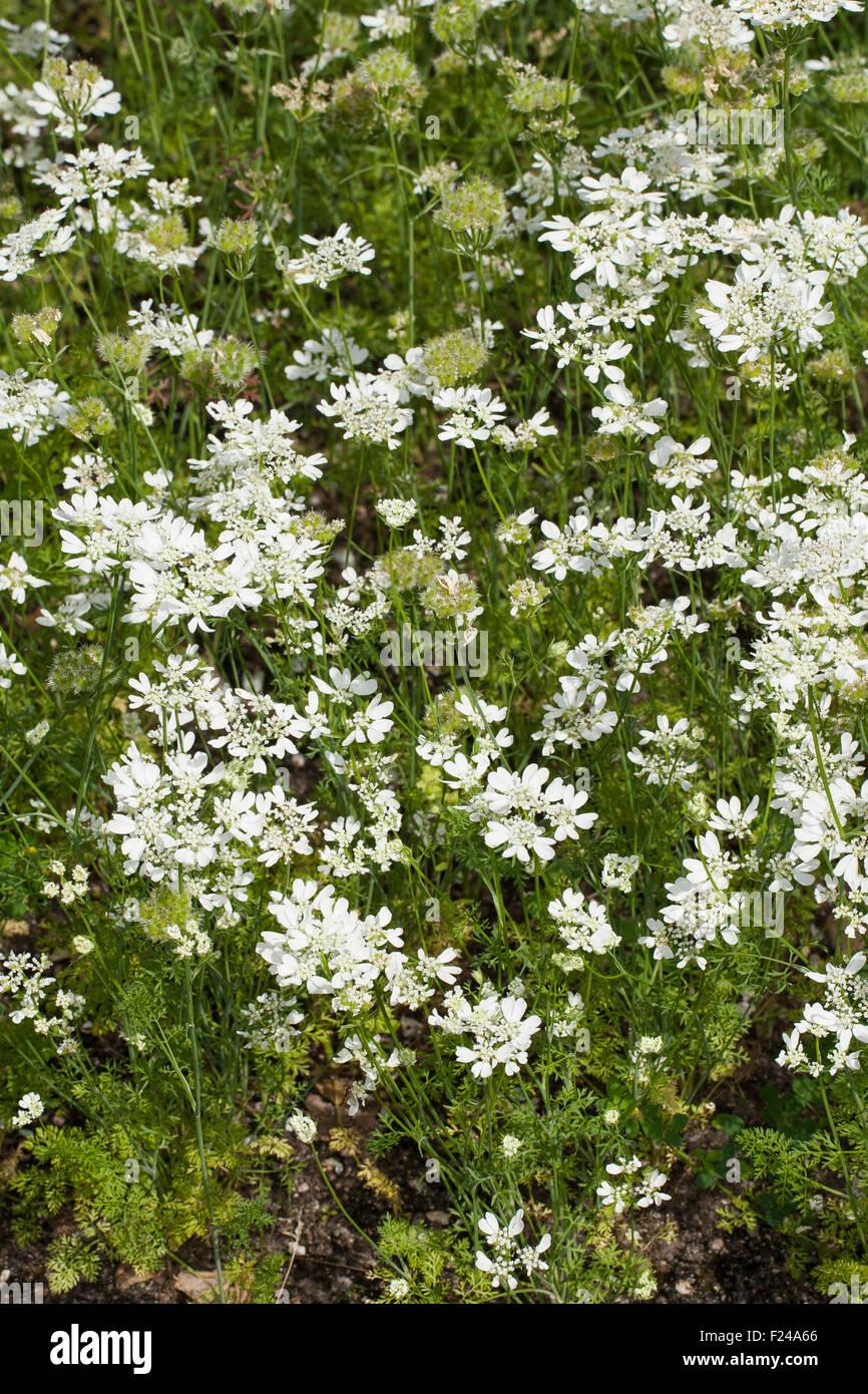 White lace flower, laceflower, Strahlen-Breitsame, Strahlenbreitsame, Strahlendolde, Orlaya grandiflora, Caucalis Stock Photo