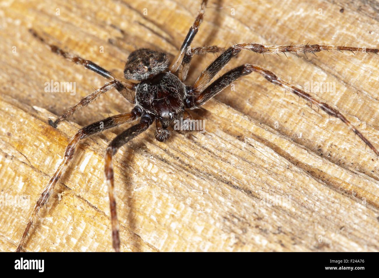 Walnut Orb-Weaver Spider, walnut orb weaver spider, male, Spaltenkreuzspinne, Spalten-Kreuzspinne, Männchen, - Stock Image
