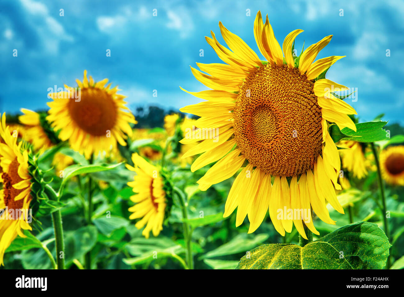Beautiful Sunflowers Field Great Yellow Flowers Over Blue Sky Background Autumn Harvest Season Beauty Of Nature Tuscany