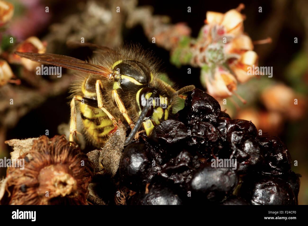 Common Wasp feeding on blackberry fruit. UK - Stock Image