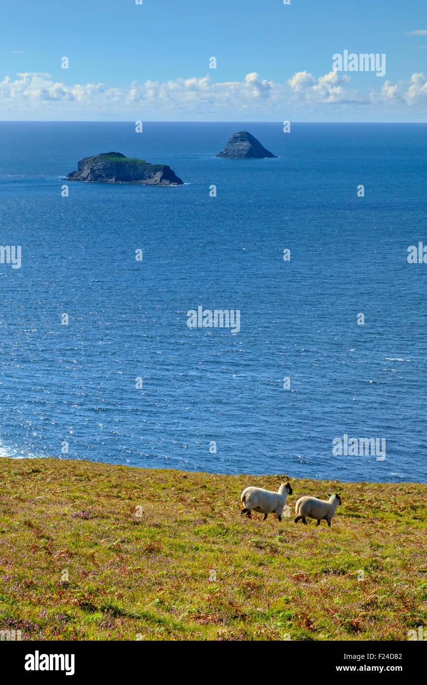 sheep field sea horizon islands ireland - Stock Image