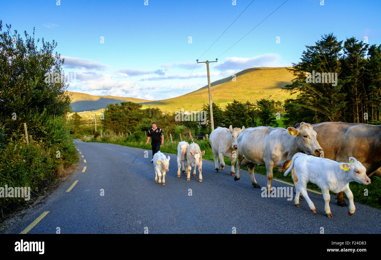 herding cattle road cows calves evening ireland uk - Stock Image