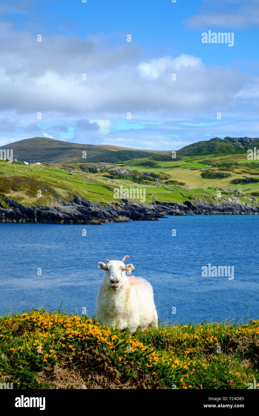 ireland irish countryside sheep ram hill sea uk - Stock Image