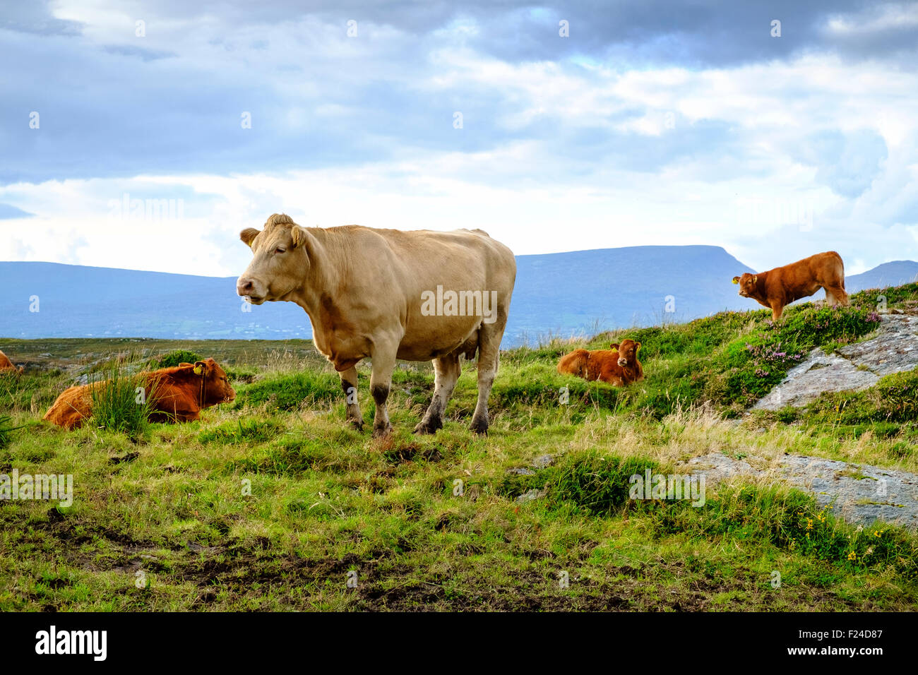 jersey cow cattle calf calves ireland uk - Stock Image