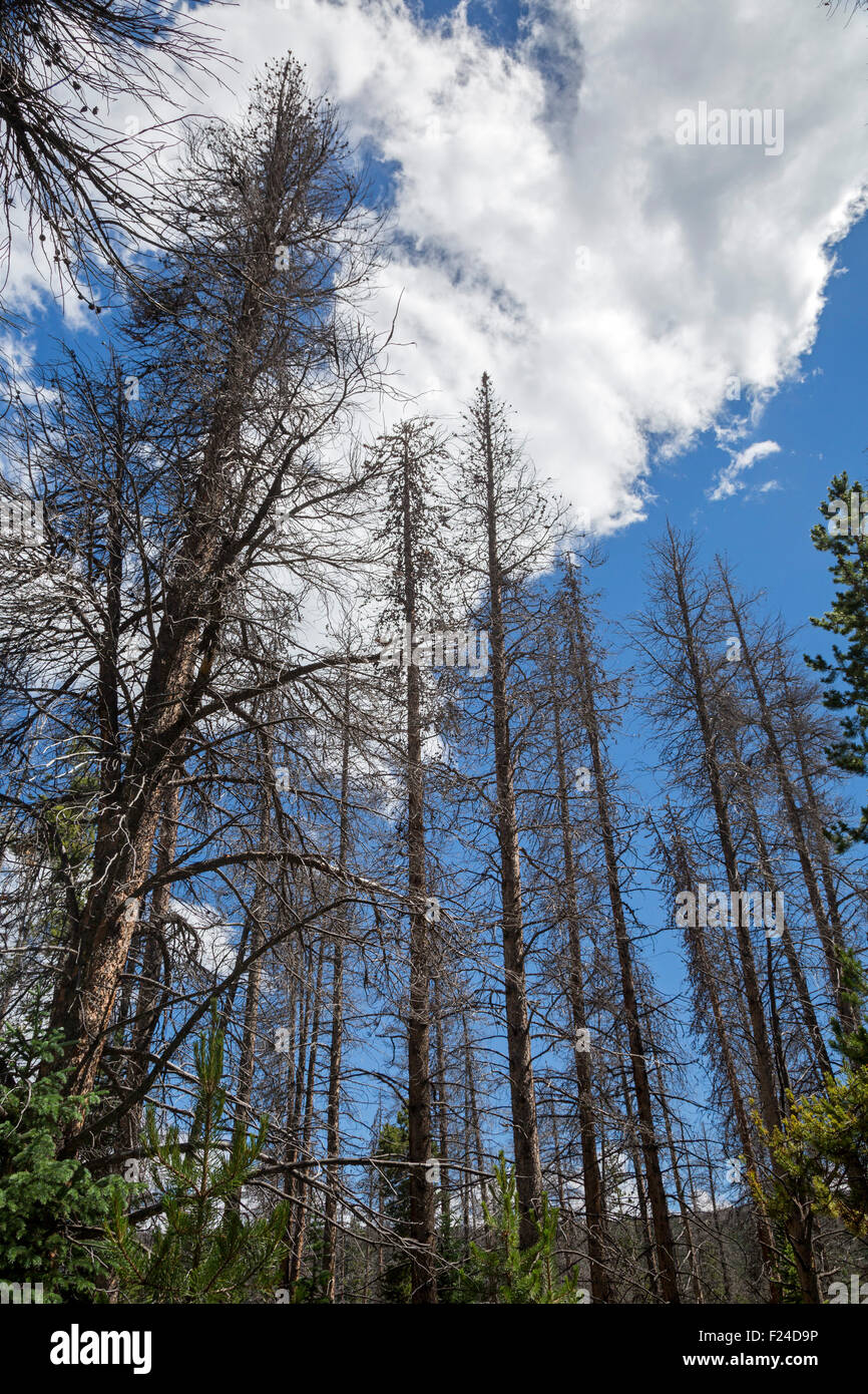 Silverthorne, Colorado - Pine trees killed by an outbreak of mountain pine beetles in the Eagles Nest Wilderness. - Stock Image
