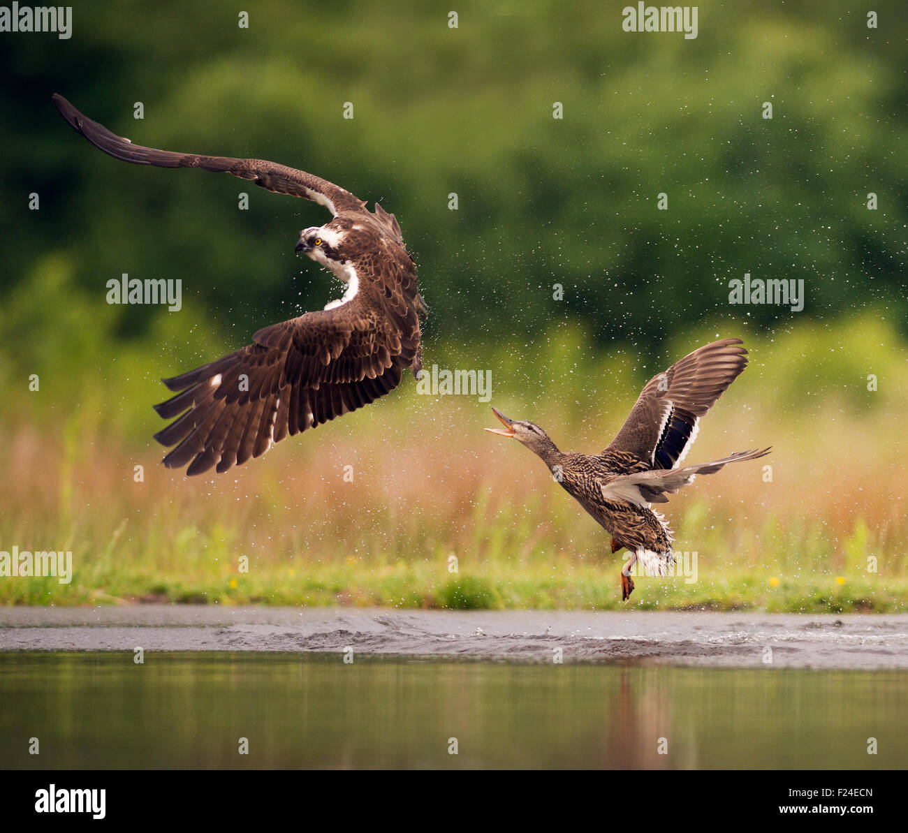 Mallard giving chase to an Osprey (Pandion haliaetus) who she thought was after her chicks - Stock Image