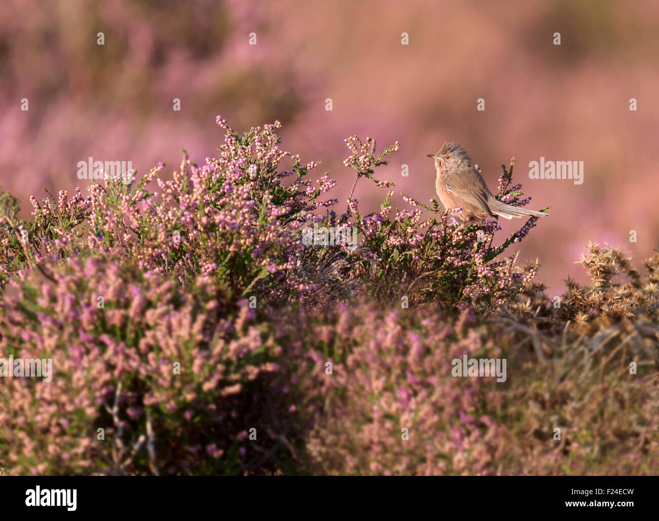Male Dartford Warbler (Sylvia undata) blending into it's background of flowering late Summer heather perfectly - Stock Image