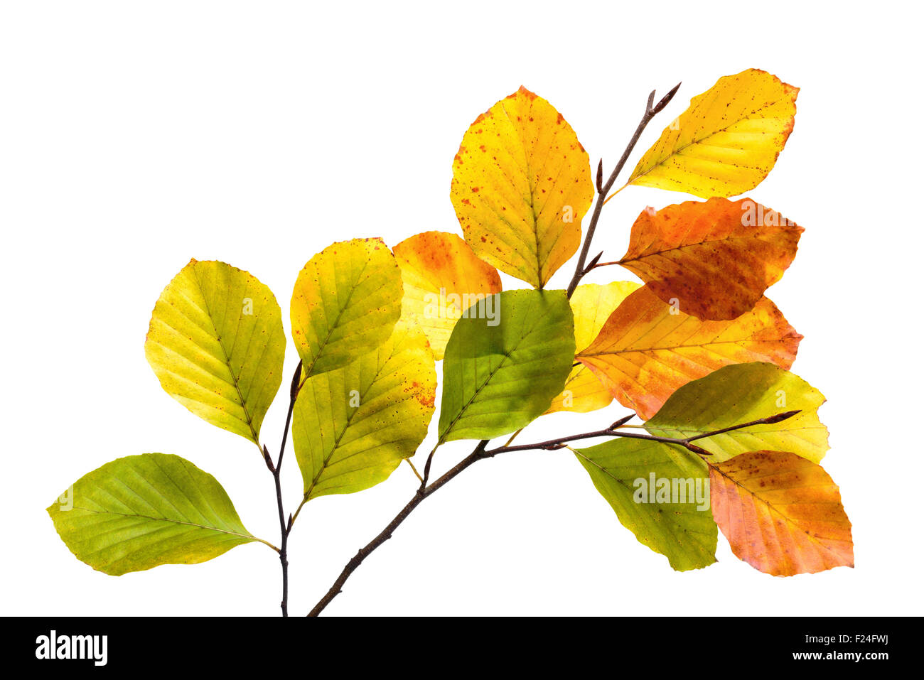Twigs with colorful leaves of a beech tree,  studio isolated on pure white - Stock Image