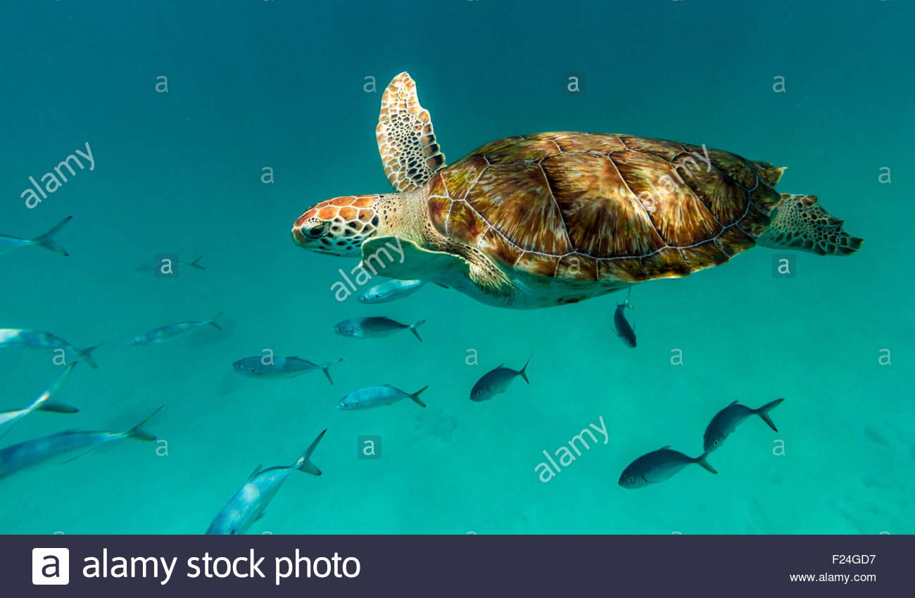 Close up of a hawksbill sea turtle swimming in front of the camera with a small school of fish. Barbados, Caribbean - Stock Image