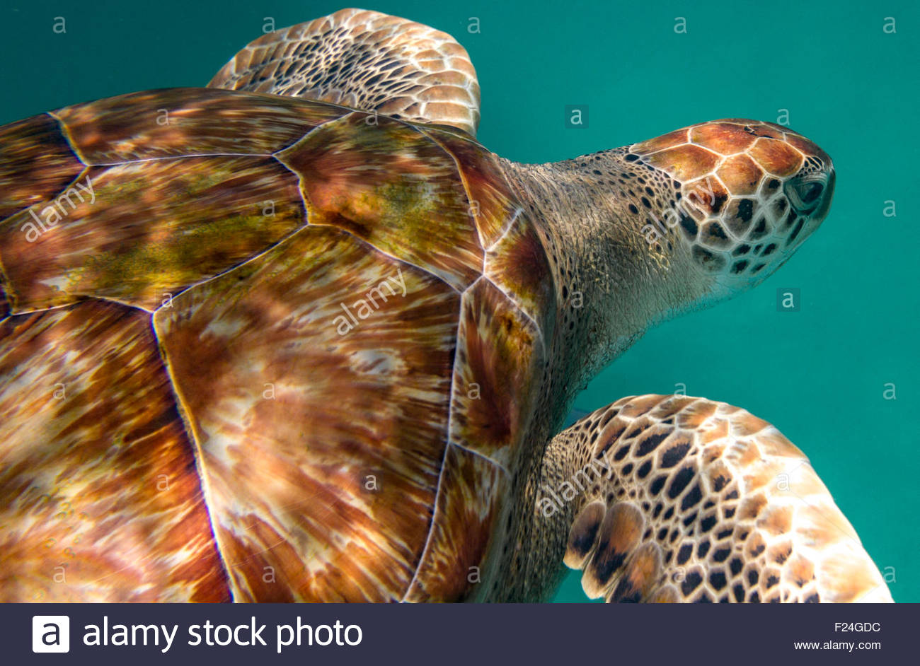 Close up of the shell and head of a hawksbill sea turtle in the Caribbean Sea, Barbados. Stock Photo