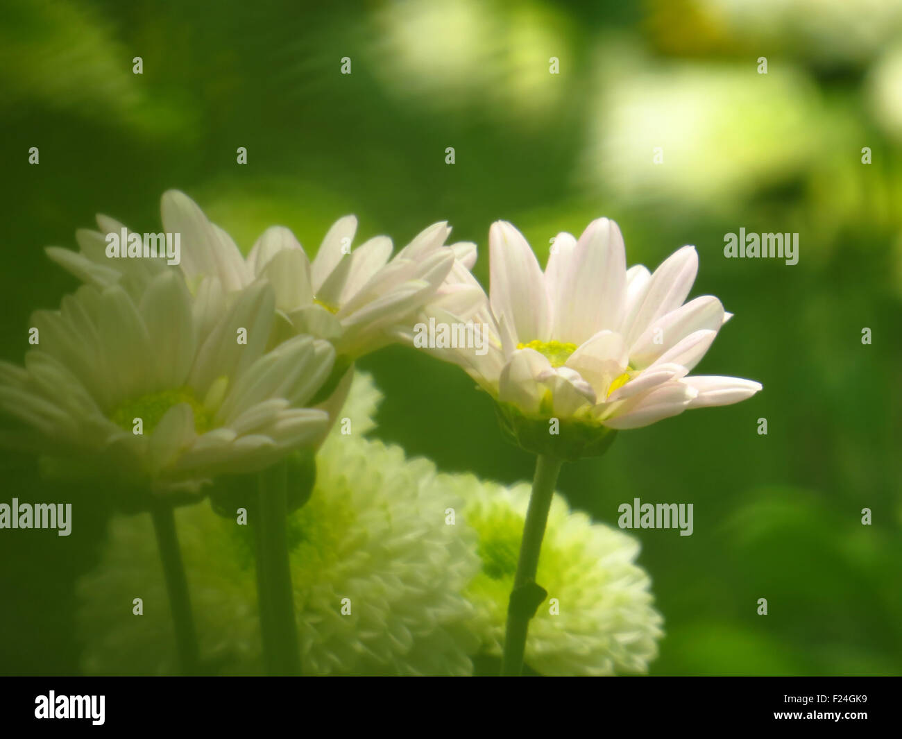 Beautiful flowers of india stock photos beautiful flowers of india beautiful white flowers in the tropical green jungles in india stock image izmirmasajfo