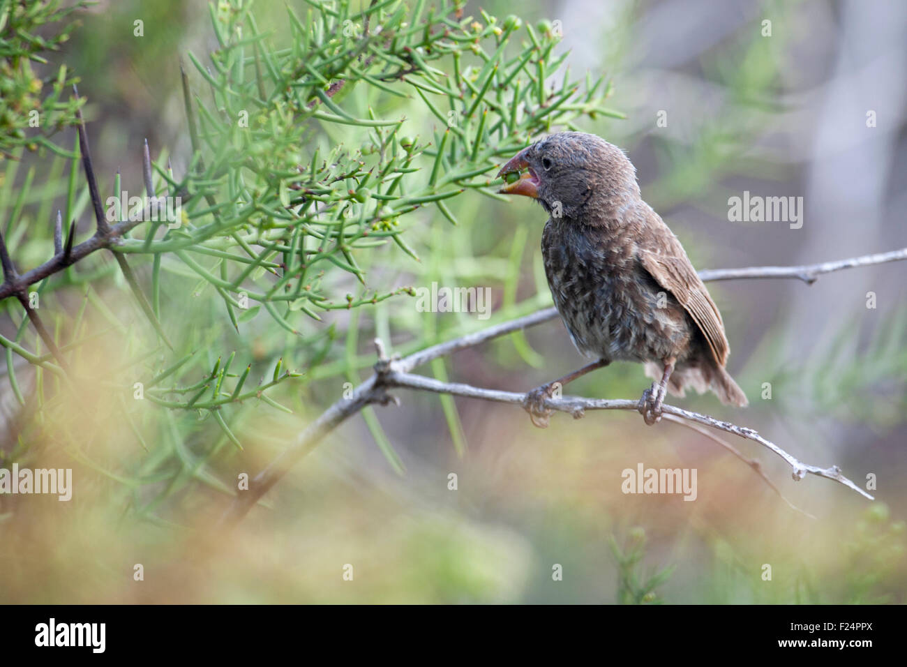 Galapagos finch eating berry - Stock Image