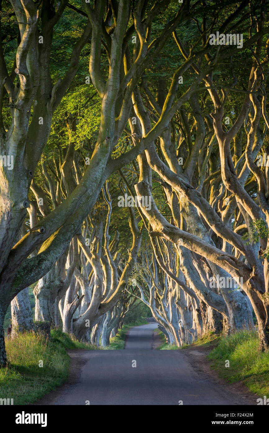 Dawn over the 18th Century Beech Tree lined road known as the Dark Hedges near Stanocum, County Antrim, Northern - Stock Image