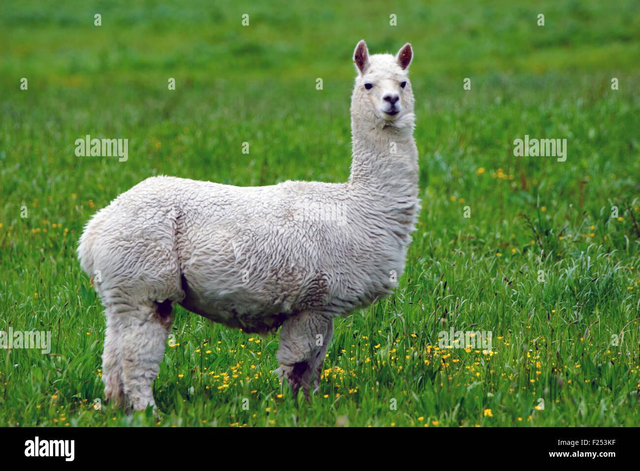 White alpaca, Vicugna pacos, in farm paddock, Westland, New Zealand Stock Photo