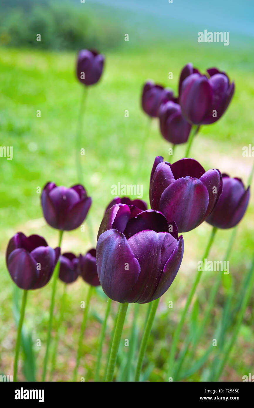 Dark purple tulip flowers grow on spring meadow macro photo with dark purple tulip flowers grow on spring meadow macro photo with selective focus mightylinksfo