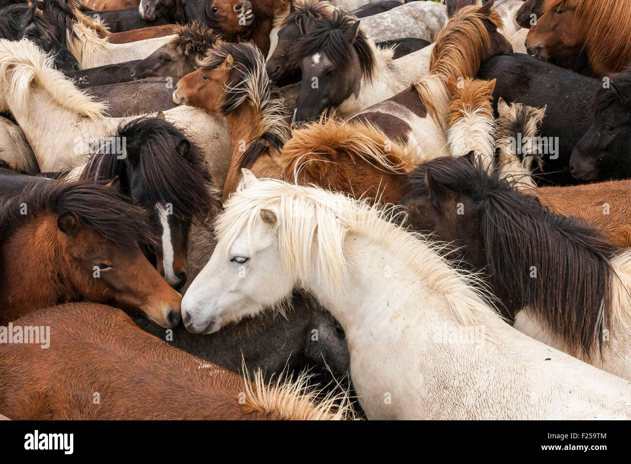 Iceland, Skagi Peninsula, Laxßrdalur Valley near nethrimyrar, Horses grouped in the corral, tight shot, Fall - Stock Image
