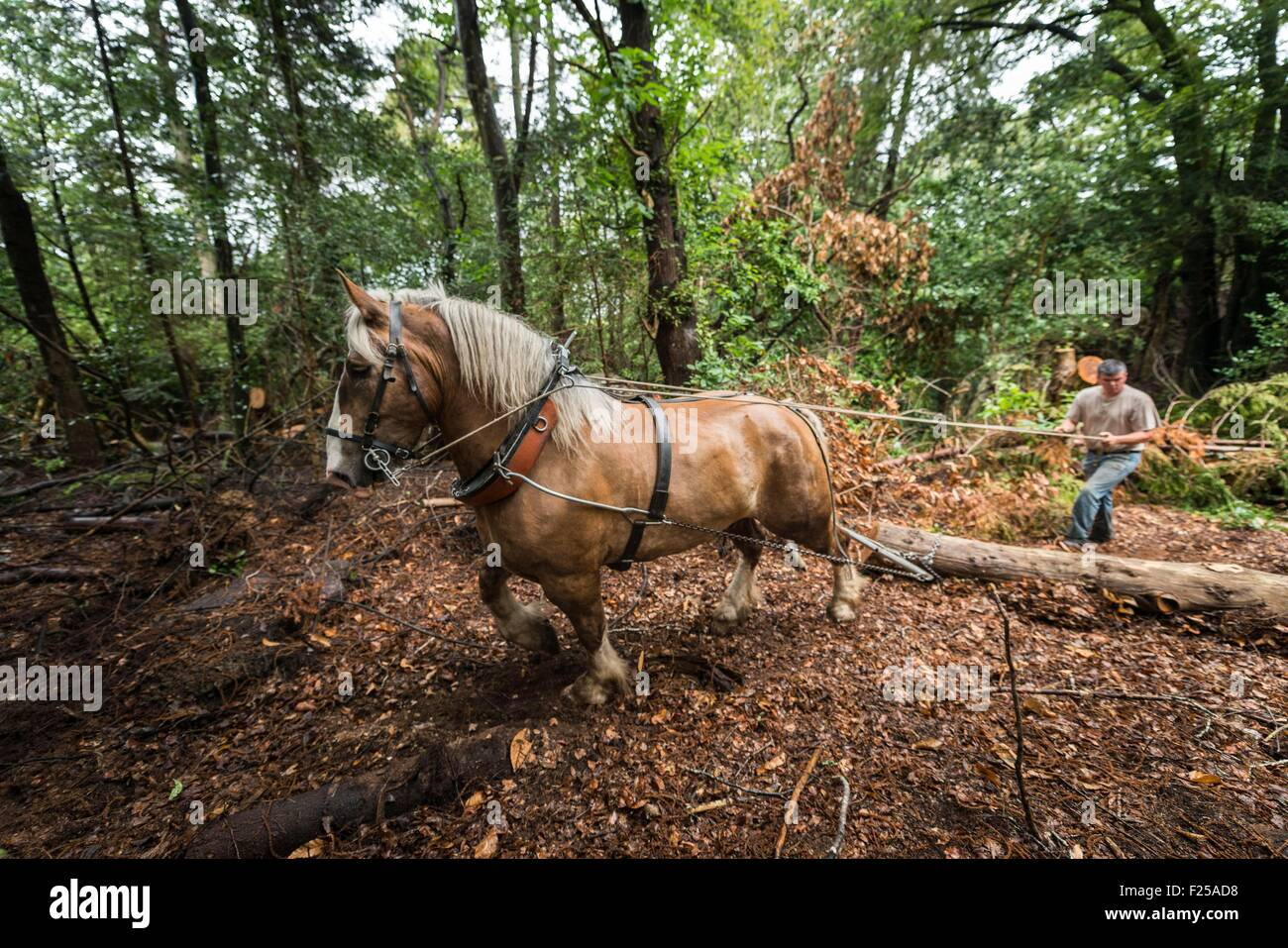 France, Finistere, Plougastel Daoulas, hauling by horse on the natural site of Kererault - Stock Image