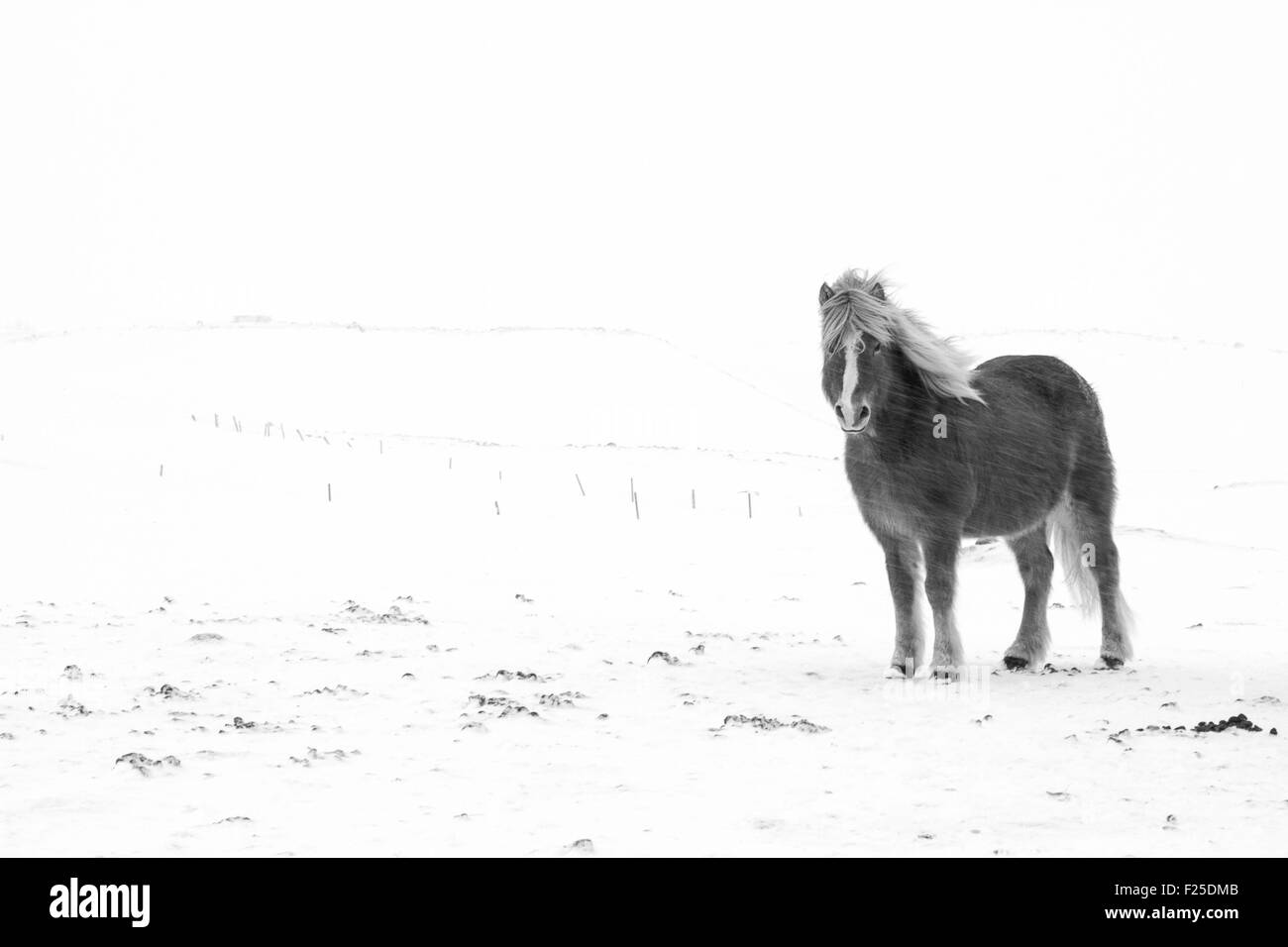 Iceland, North Coast, Horse in the snow storm, black and white - Stock Image
