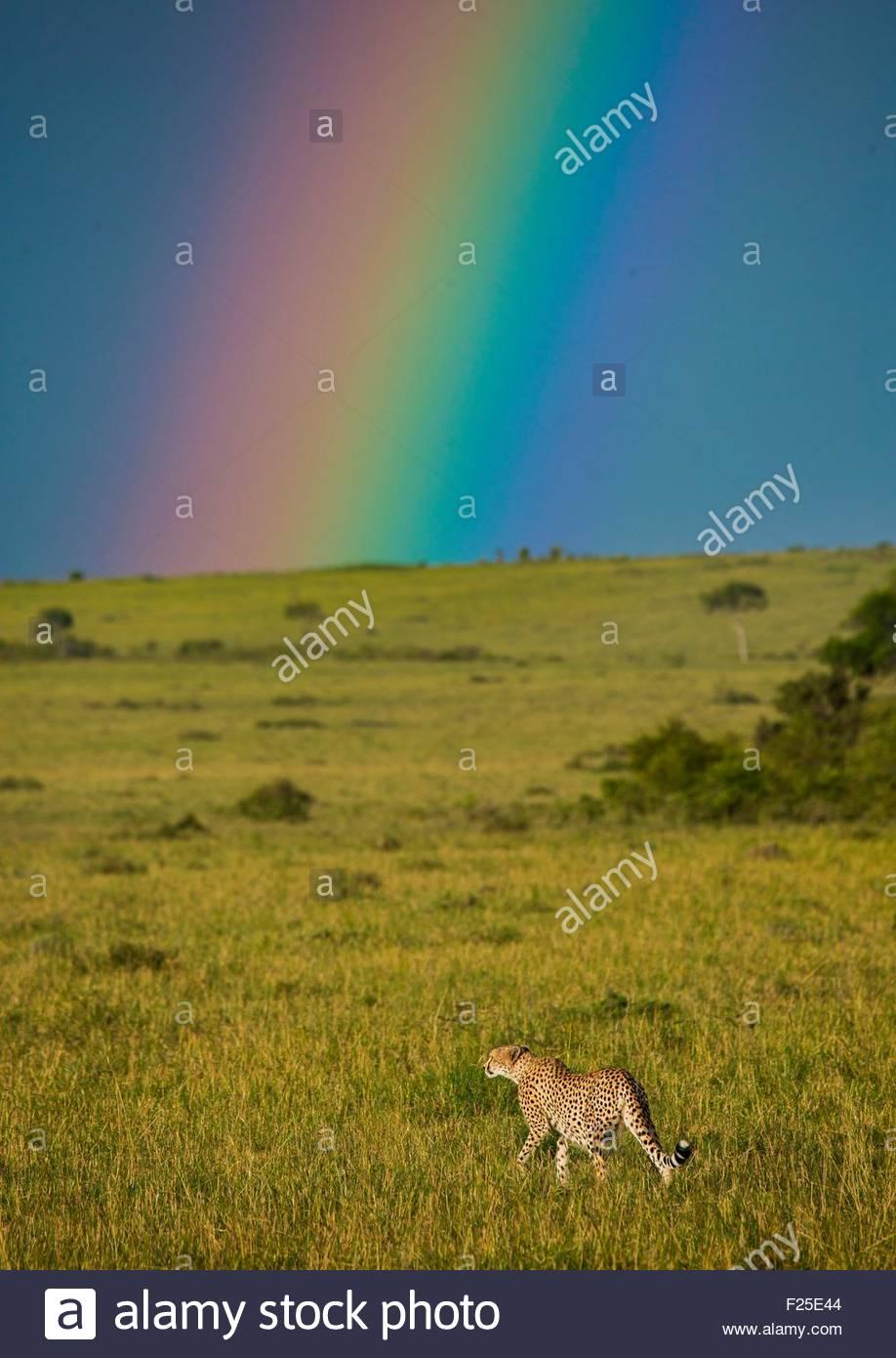 Kenya, Rift Valley Province, Maasai Mara, cheetah (acinonyx jubatus) in front of a rainbow - Stock Image