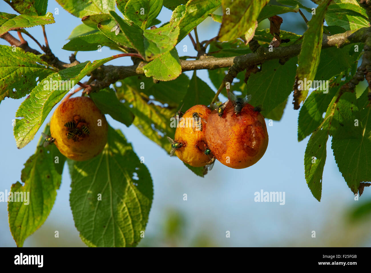 Insects on fruit - Stock Image