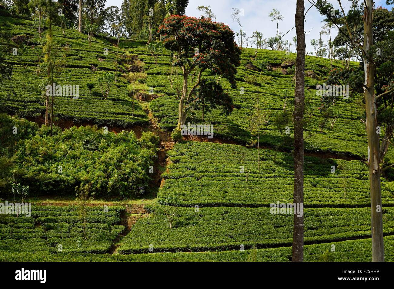 Sri Lanka, Central Province, the popular scenic train ride through the tea growing hill country between Hatton and Stock Photo