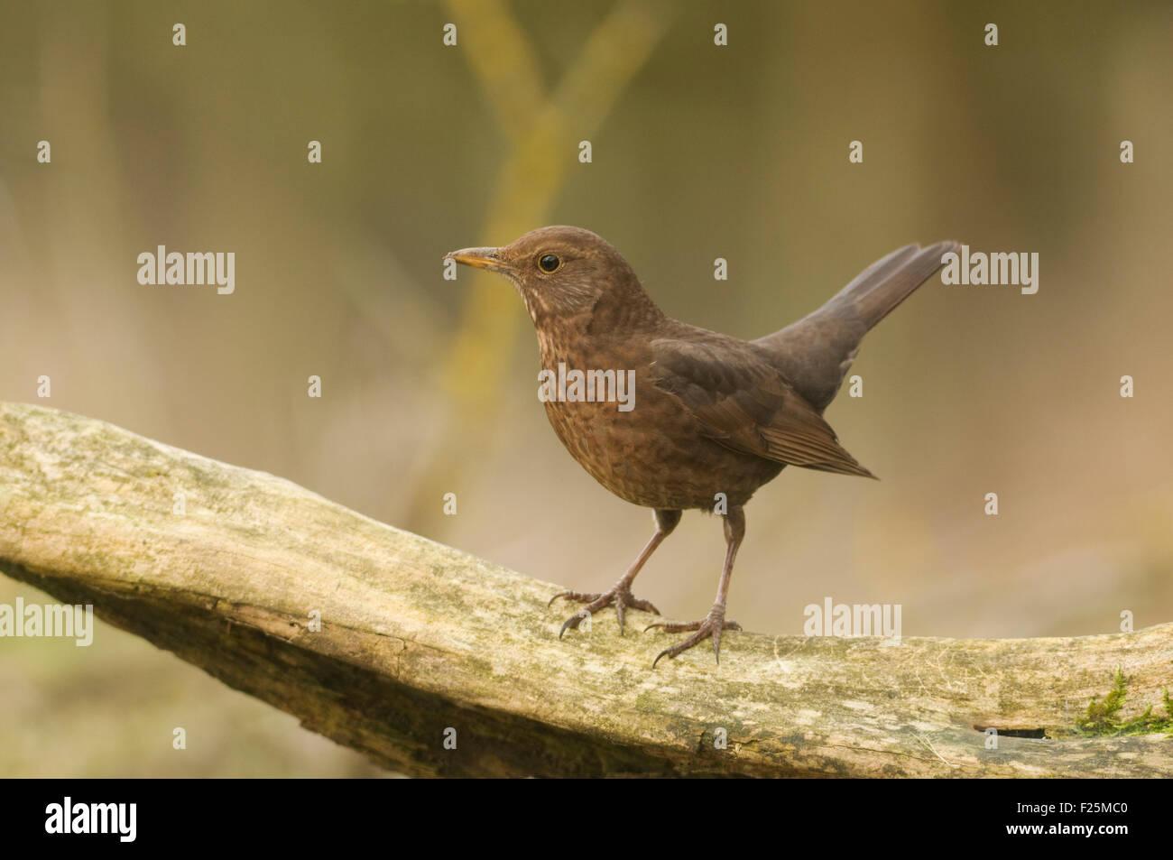 European Blackbird (Turdus merula) on Log - Stock Image