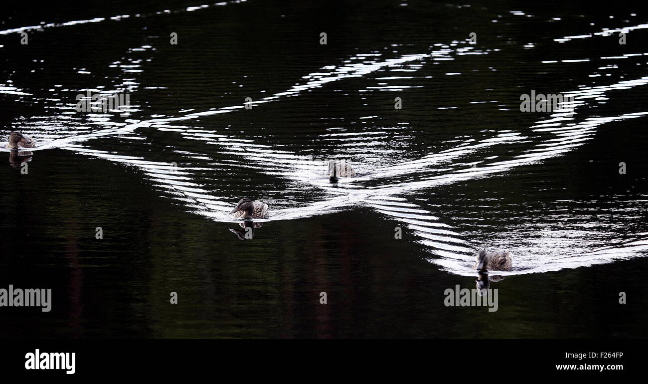 Savonlinna, Finland. 30th July, 2015. Ducks swimming on a lake. © Valery Matytsin/TASS/Alamy Live News - Stock Image
