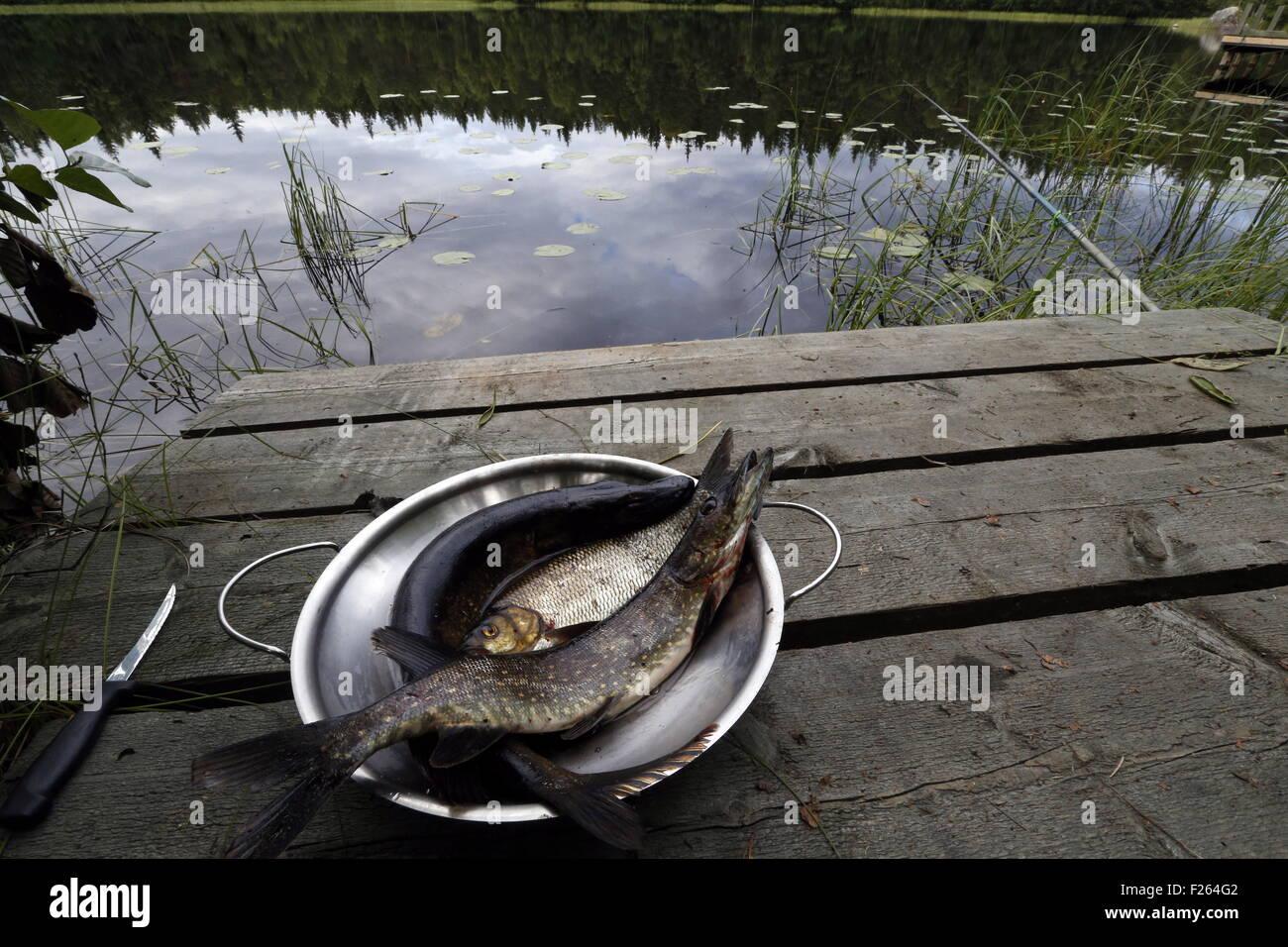 Savonlinna, Finland. 30th July, 2015. A fish catch. © Valery Matytsin/TASS/Alamy Live News - Stock Image