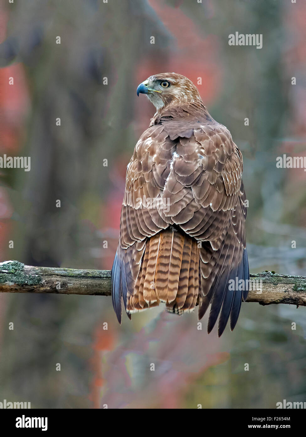 Red-tailed Hawk Back to Camera Rear View - Stock Image