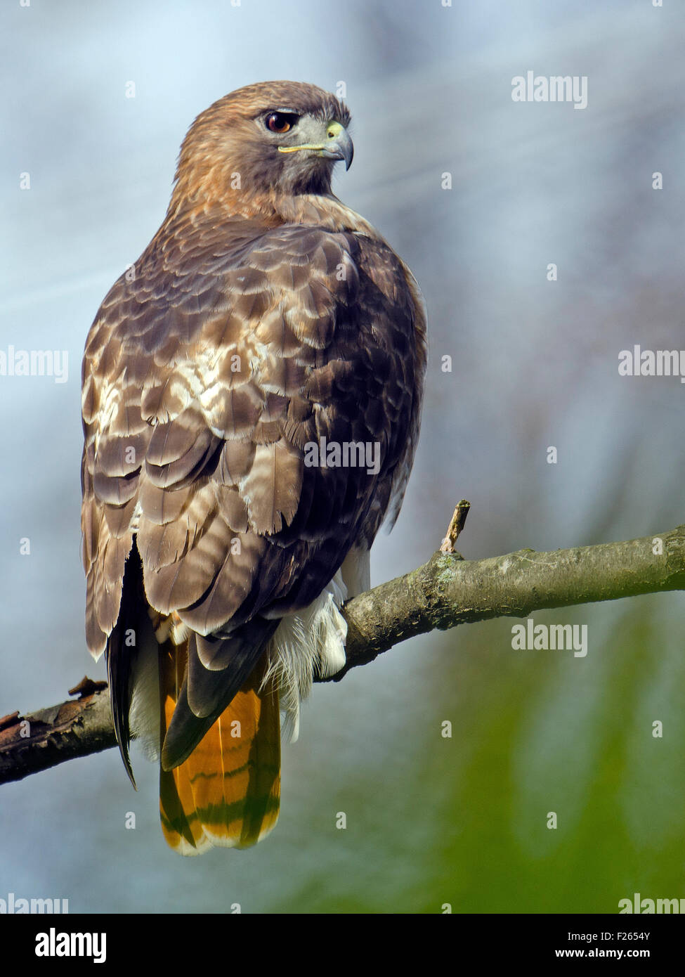 Red-tailed Hawk on Branch - Stock Image