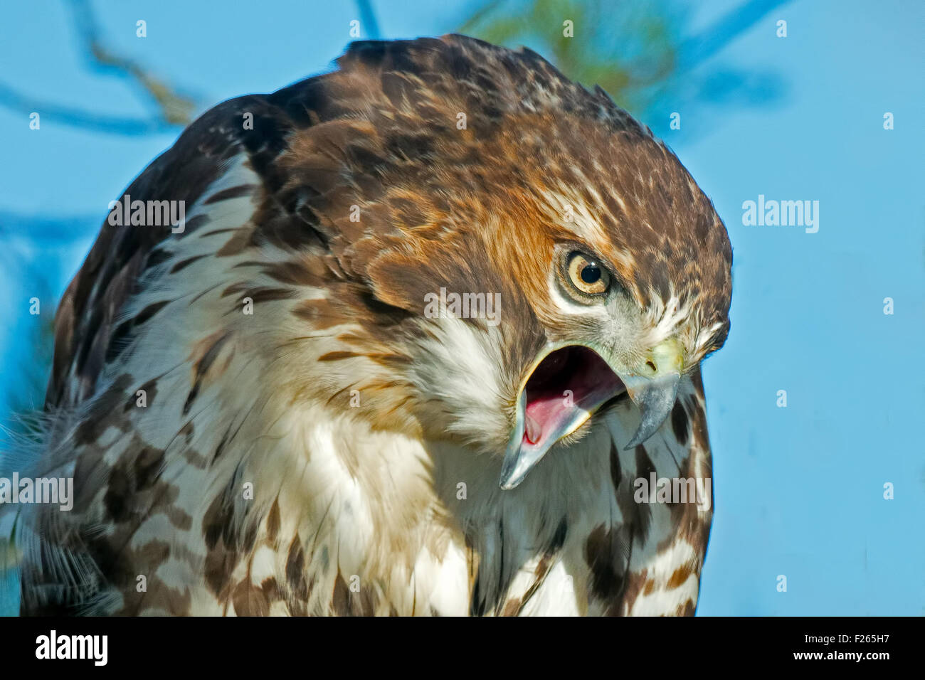 An Angry Red-tailed Hawk - Stock Image