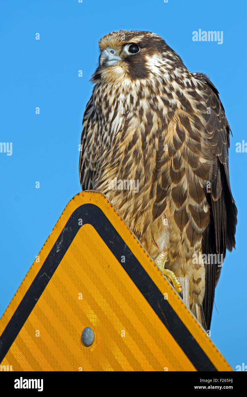 Peregrine Falcon on sign - Stock Image