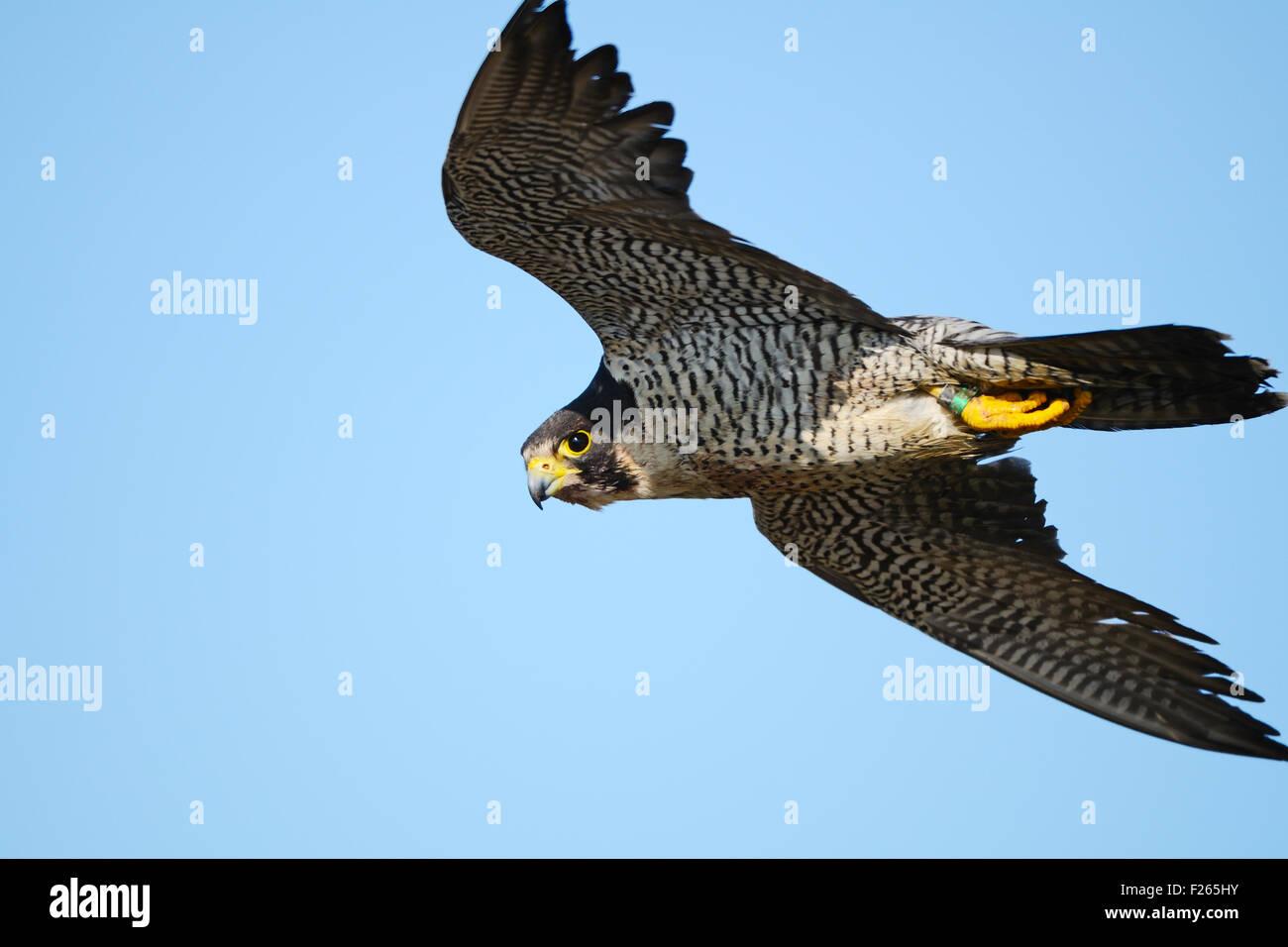Peregrine Falcon in Flight - Stock Image