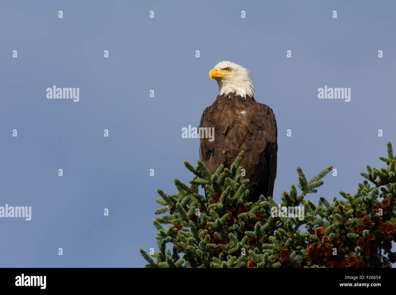 Bald Eagle Perched in Pine Tree - Stock Image