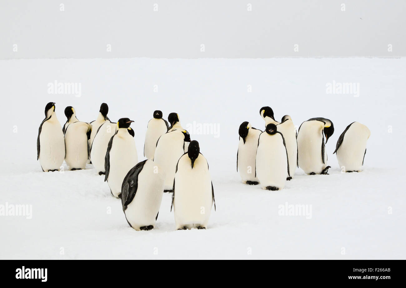 A group of emperor penguins grooming their feathers in an unconcerned manner Stock Photo