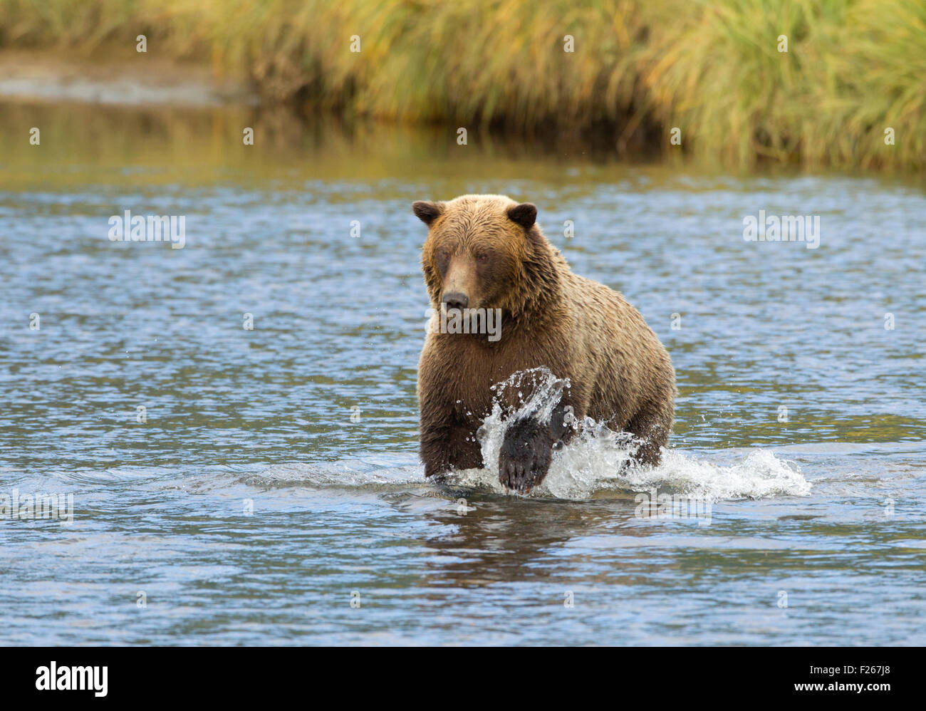 Grizzly Bear Running in Creek - Stock Image