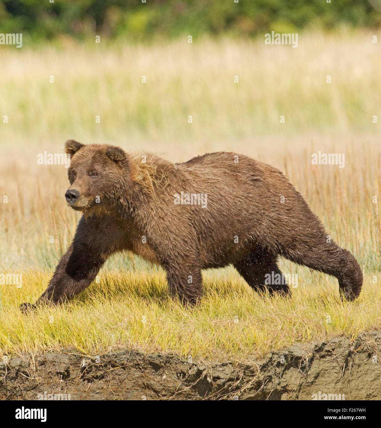 Grizzly Bear Running - Stock Image