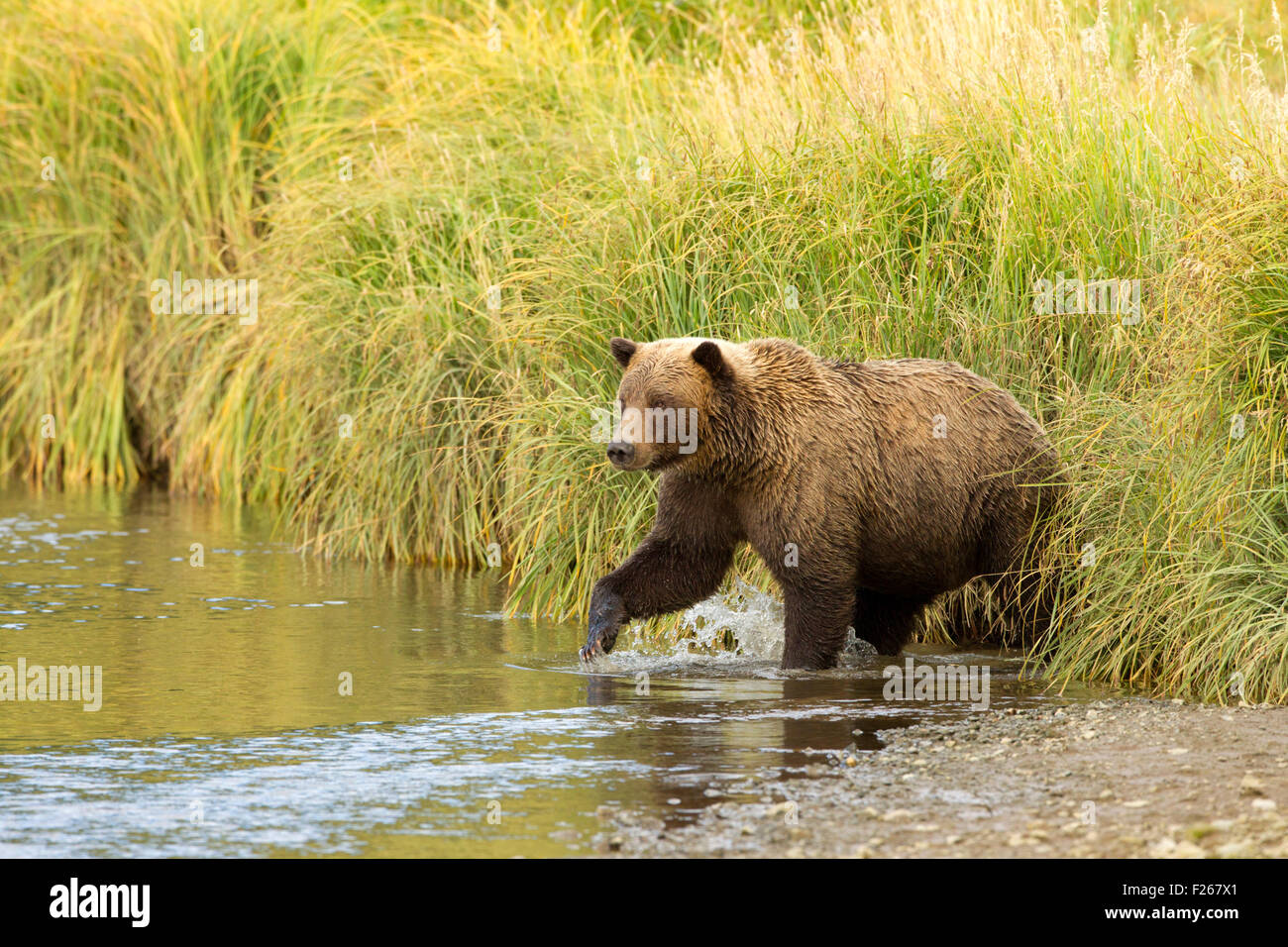 Grizzly Bear Entering Creek - Stock Image