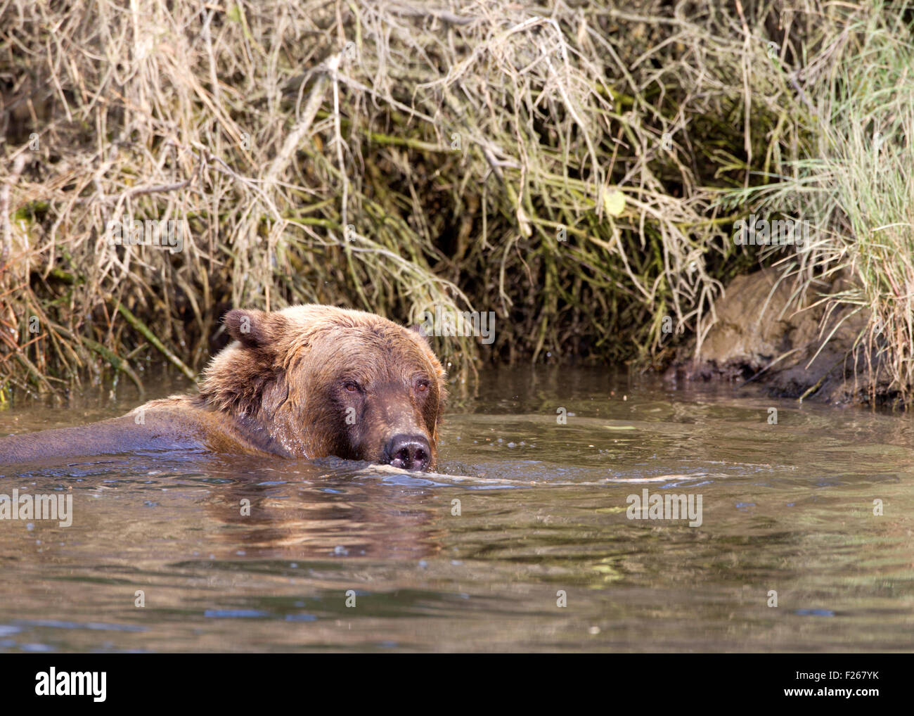 Grizzly Bear Submerged in Creek - Stock Image