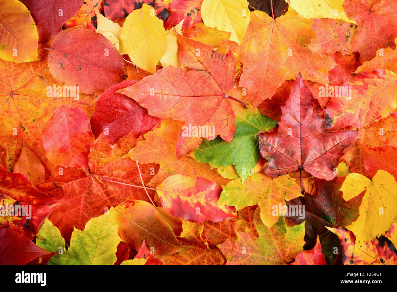 Fall autumn leaves background sharp and clean - Stock Image