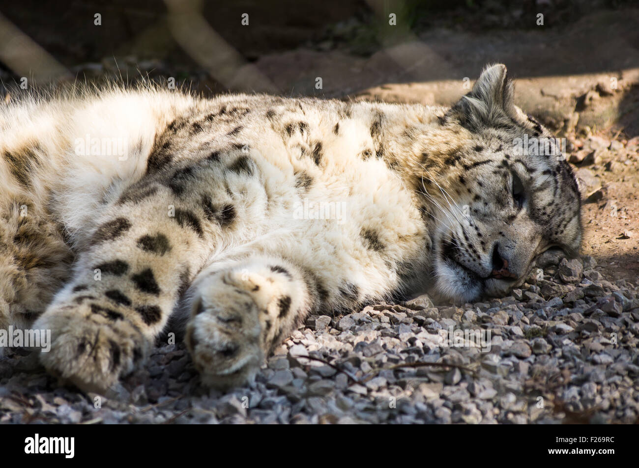 A snoozing Snow Leopard - Stock Image