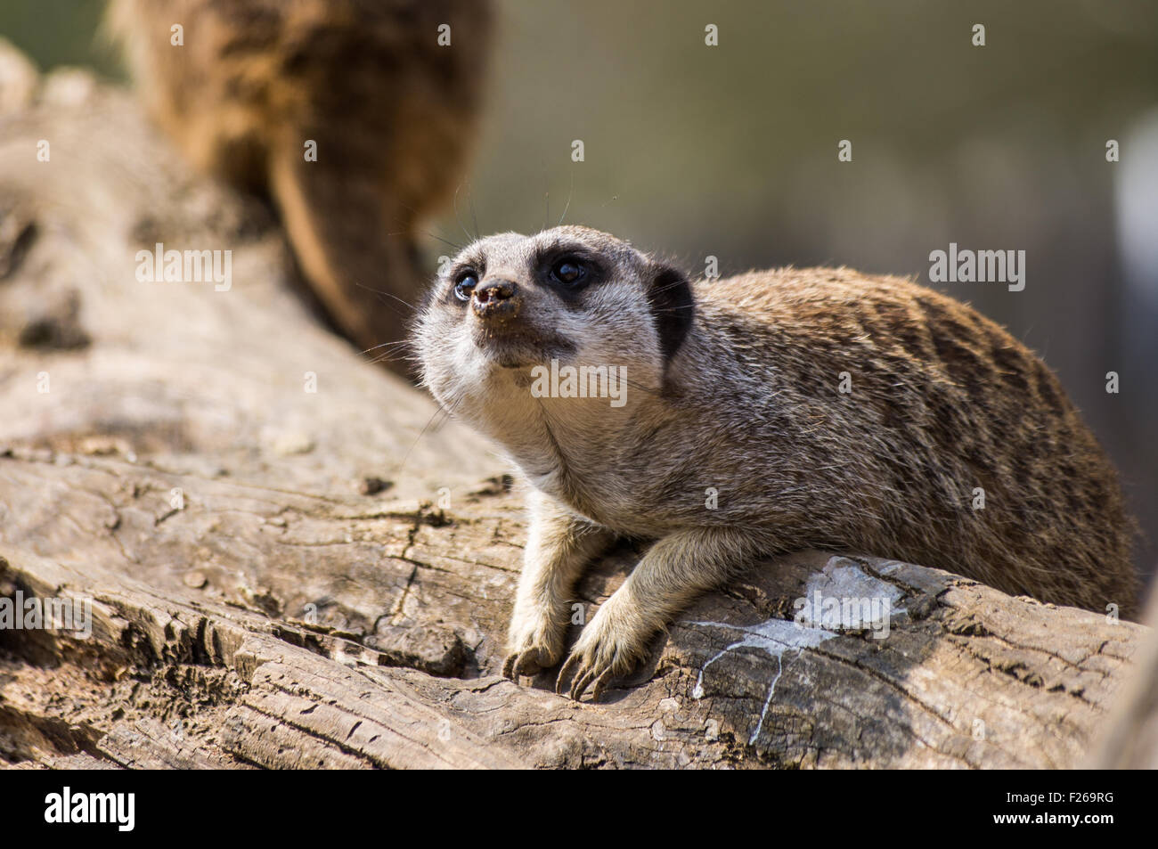 A Meerkat on the look out - Stock Image