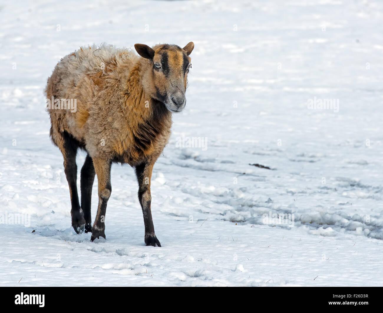 Sheep Ewe walking in the snow - Stock Image