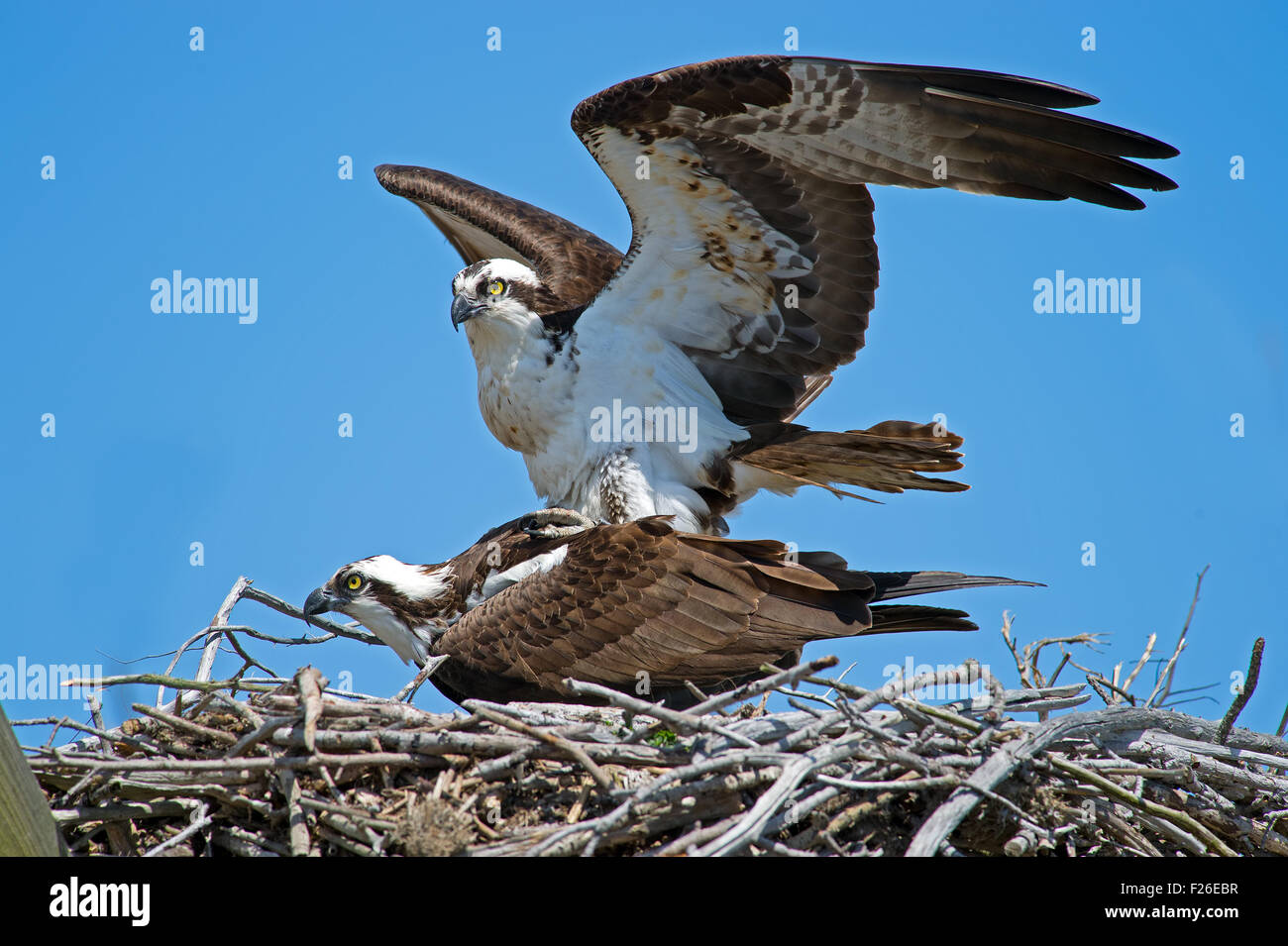 Osprey Mating in nest - Stock Image