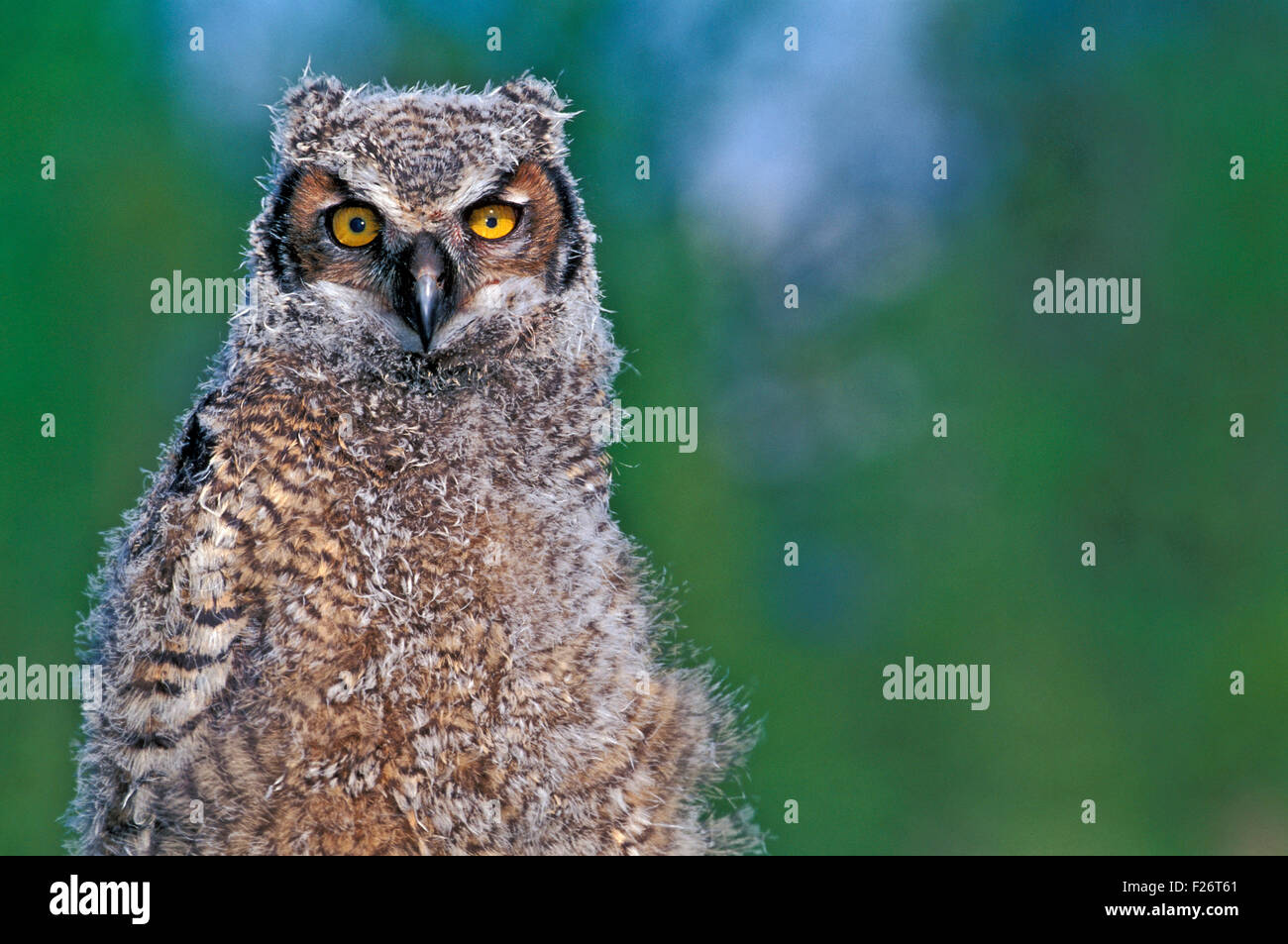 Young Great Horned Owl, portrait closeup - Stock Image